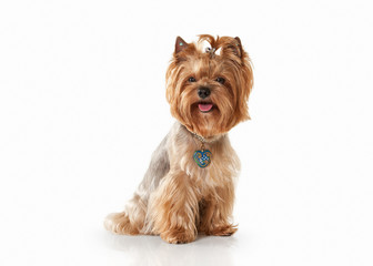 Dog. Yorkie puppy on white gradient background