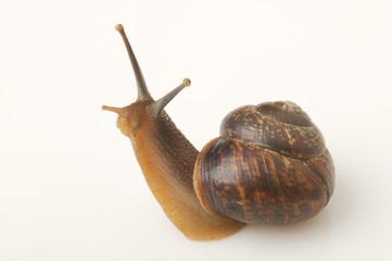 Snail_c