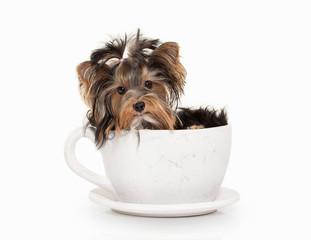 Dog. Yorkie puppy on white gradient background