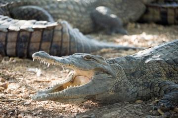 American Crocodile lies on the bank
