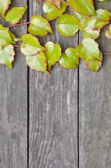 Green ivy twigs on wooden boards background