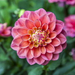 Single flower of dahlia colorl red