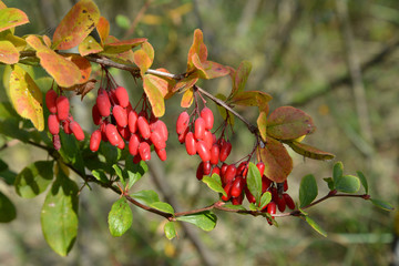 Branch of a barberry ordinary (Berberis vulgaris L.) with berrie