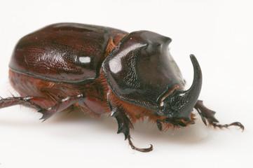 Rhino beetle_c