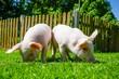 canvas print picture - Zwei Ferkel wühlen im Gras