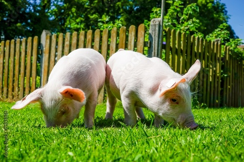 canvas print picture Zwei Ferkel wühlen im Gras
