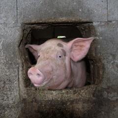 clin d'oeil du cochon