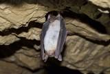 Greater mouse eared bat (Myotis myotis) poster