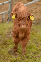 Scotish Cow