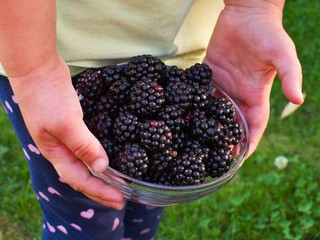 Riped blackberries in the small childern hands