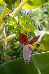 Banana bunch in a plantain tree