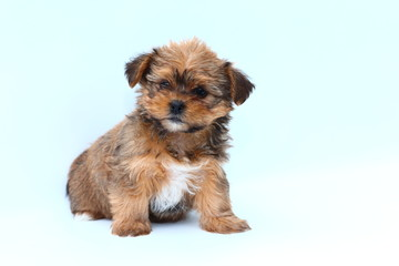 Small fluffy puppy on white background