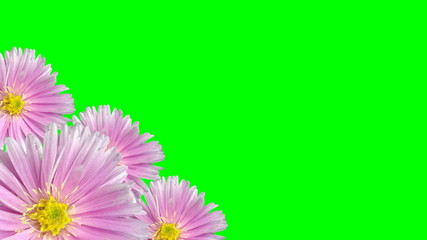 Seamless violet floral background loop on green screen