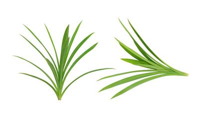 Pandanus Palm, Fragrant Pandan, Pandom wangi