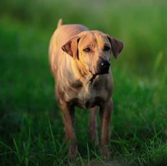 Thai Ridgeback Dog ready to attack