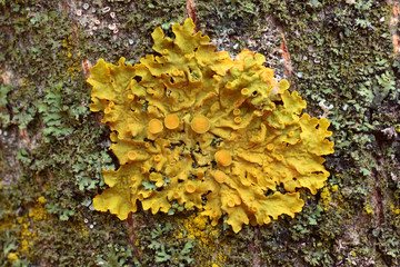 Xanthoria parietina foliose lichen on a bark