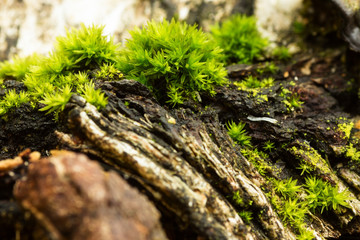 An green Orthotrichum moss