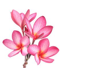 Frangipani flower isolated