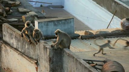 Langur family