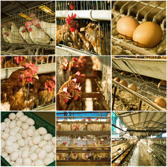 collection of chicken farm