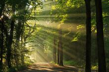 "Постер, картина, фотообои ""Sun rays shining through the trees in the forrest."""