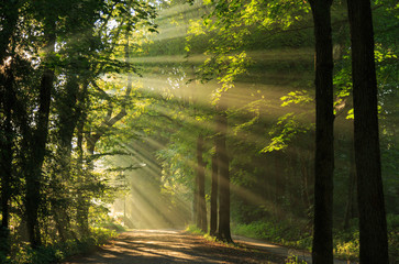 Sun rays shining through the trees in the forrest. © sanderstock
