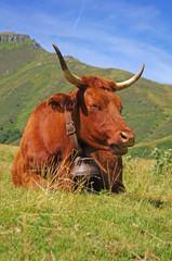 Vache Salers en période d'estive (cantal, auvergne)