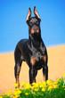 Portrait of the black doberman pinscher on beach