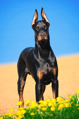 Portrait of the black doberman pinscher on beach