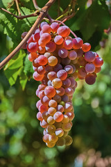 гроздь винограда 53