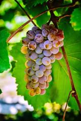 гроздь винограда 9