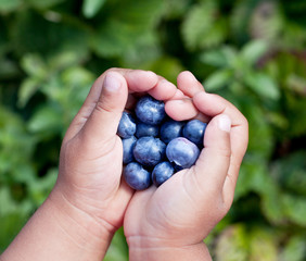 Blueberries is in the child's hands.