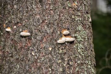 Pilze am Baum in Oderteich,Harz.