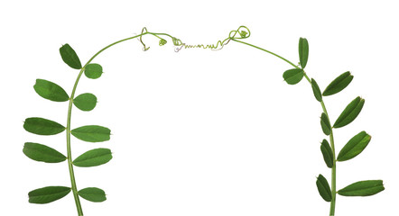 green pea tendrils isolated on white