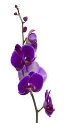 branch with bright large purple orchid flowers