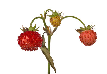 three isolated wild strawberries on stem