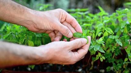 Piante di Basilico, sviluppo curare, agricoltura