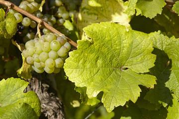 Weinberg - Weinlaub