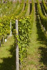 Weinberg - Weinstöcke