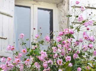 massis fleuri d'anémones devant fenêtre
