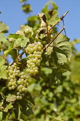 Weinberg - Weintrauben an einem Rebstock