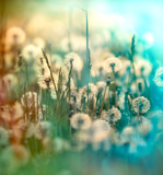 Dandelion seed - fluffy blowball (dandelion) - 71356395