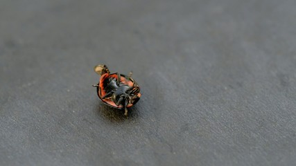 Ladybug on dark background. Lies upside down on the back.