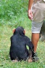 Scimpanzè in cattività