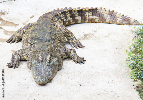 Foto op Plexiglas Krokodil Crocodile is sleeping