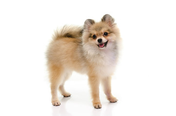 Cute pomeranian puppy smiling on white background