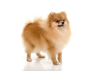 Cute pomeranian puppy looking up on white background