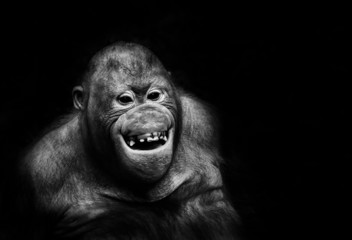Funny orangutan monkey smiling - black background