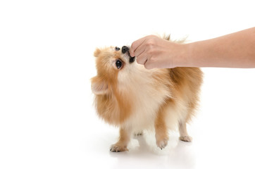 Woman hand feeding puppy on white background