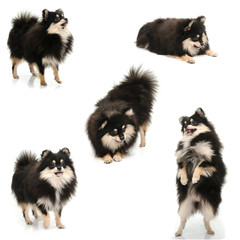 Collection of black tan pomeranian puppy on white background